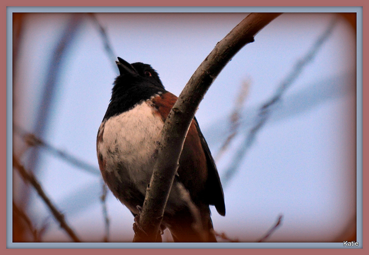Spotted Towhee singing in Washington Park